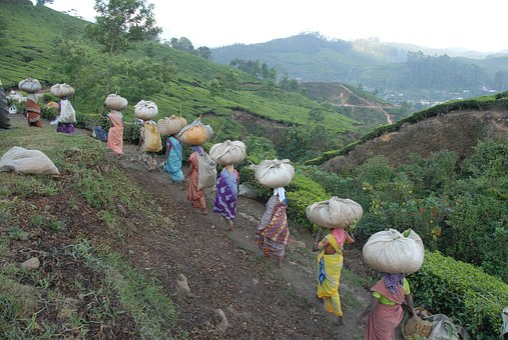 Tea, Collection, Field, Women, Countruside, Farm