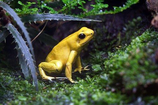 Frog, Toxic, Yellow, Netherlands, Enclosure, Zoo