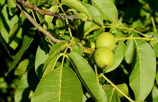 Walnut, Organic, Almonds, Green, Tincture, Healthy, Raw