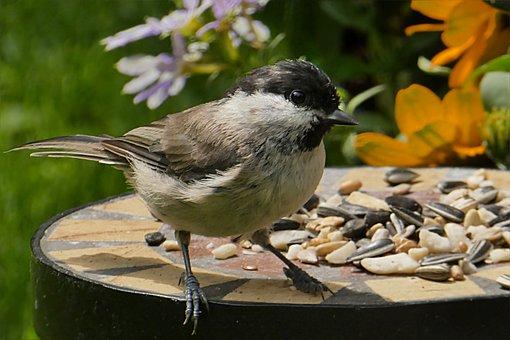 Animal, Bird, Tit, Marsh Tit, Parus Palustris
