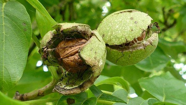 Walnuts, Walnut, Tree Nut, Eat, Food, Walnut On Tree