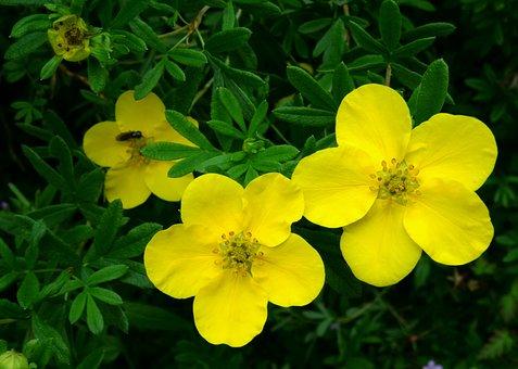 Blossom, Bloom, Finger Shrub, Close, Yellow, Green