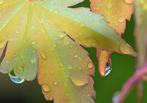 Drip, Raindrop, Drop Of Water, Maple, Maple Leaf