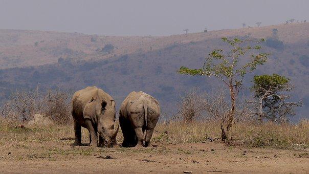 South Africa, Hluhluwe, Rhino, Wild Animal