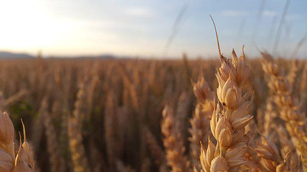 The Grain, Summer, The Production Of Grain, Ears