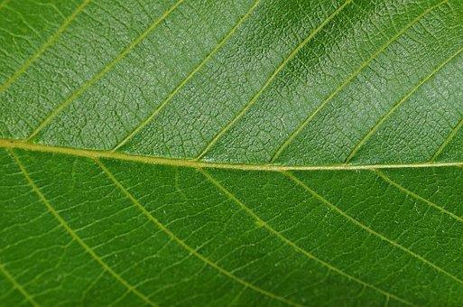 Leaf, Walnut, Foliage, Vegetation, Closeup, Nature