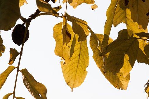 Leaf, Autumn, Walnut Tree, Walnut, Fall Foliage, Leaves