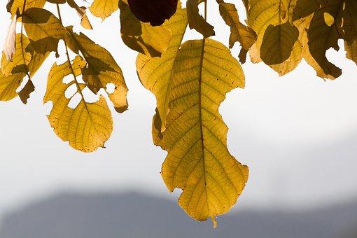 Leaf, Autumn, Walnut Tree, Fall Foliage, Leaves, Tree