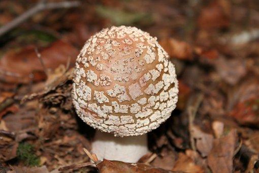 Mushroom, Forest Mushroom, Wild Mushrooms, Perlpilz