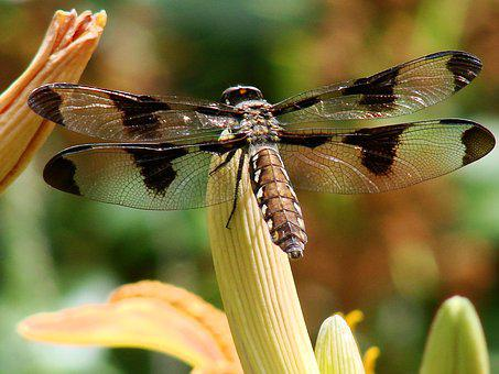 Dragonfly, Transparent, Wing, Nature, Insect, Wildlife