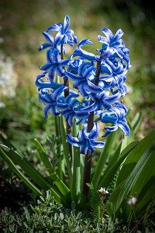 Hyacinth, Blue, Flower, Blossom, Bloom, Bloom