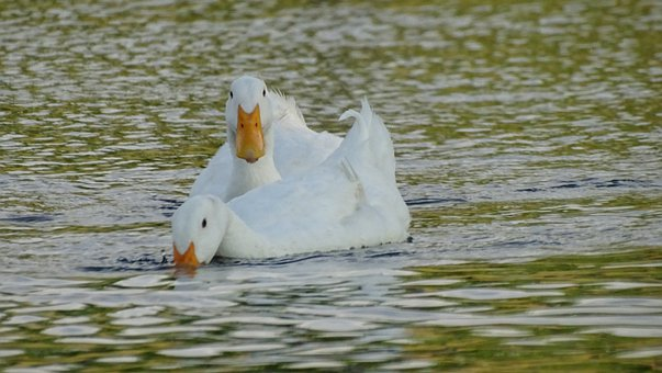 White, Goose, Animal, Nature, Water, Bird, Poultry
