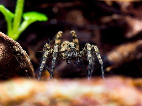 Wolf Spider, Spider, Close Up, Animal, Animal World