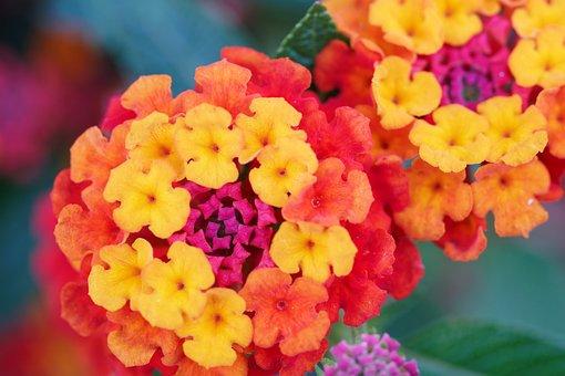 Flower, Colorful, Blossom, Decorative, Garden, Bloom