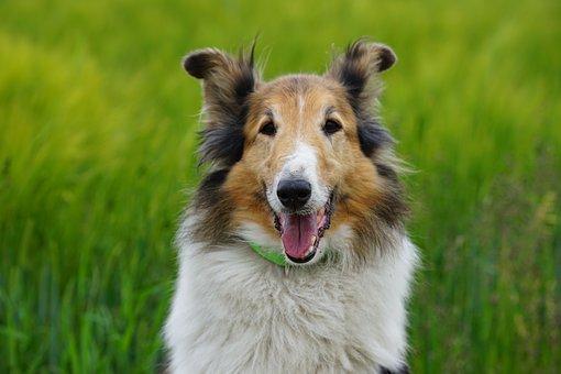 Dog, Sheep-dog, Scottish, Portrait, The Brit Hostel