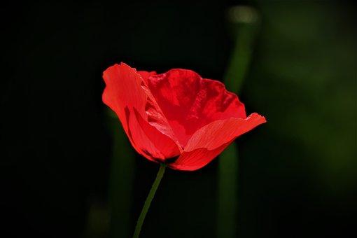 Wild Flowers, Poppy, Flower Meadow, Flowers, Meadow