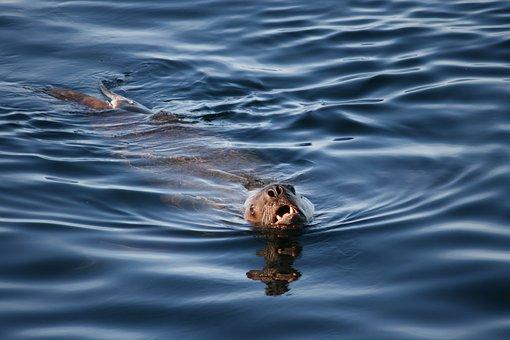 Sea Lion, Ocean, Water, Sea, Nature, Mammal, Animal