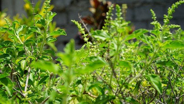 Holy Basil, Tulsi Plant, Tulsi