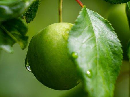 Berry, Green, Root Vegetable, Drop, Water, Mirabelka