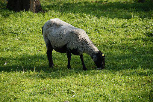 Sheep, Suffolk, Jersey, Animal, Farm, Grazing, Graze