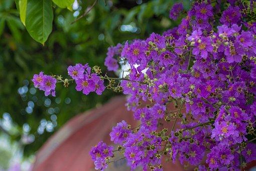 Melastomataceae, Flowers, Purple, Flower