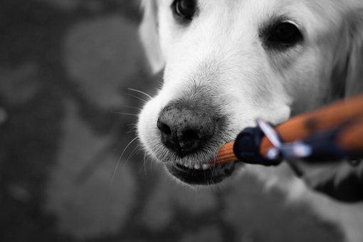 Dog, Leash, Sw, Pet, Run, Happy, Walk