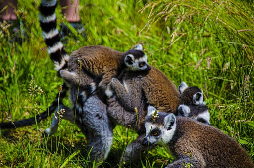 Lemur, Black Lemur, Mammals, Animals, Zoo, Madagascar