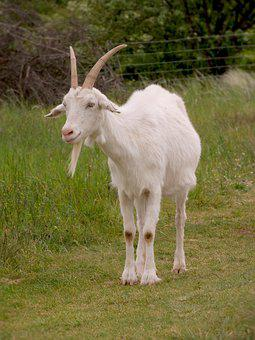 Goat, White, Male, Grazing, On The Pasture, Corners