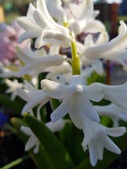 Hyazinte, Nature, Plant, Spring