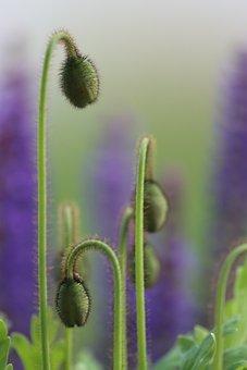 Poppy, Hair, Wild Sage, Blue, Flower, Red, Fantasy