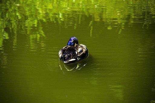 Bird, Goose, Nature, Waterbirds, Animals, Poultry, Bill