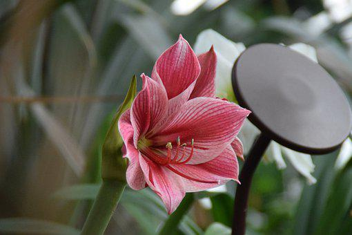 Lilies, Blossom, Bloom, Close Up, Ornamental Plant