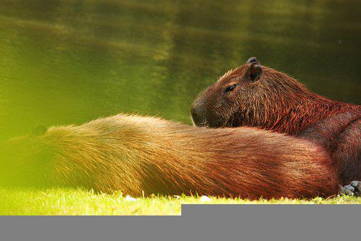 Capybara, Capybara Background, West, Animal, Wildlife