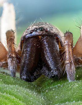 Spider, Woodlouse-hunter, Eyes, Palps, Fangs, Insect