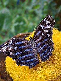 Butterfly, Nature, Flower, Insect, Animal, Butterflies