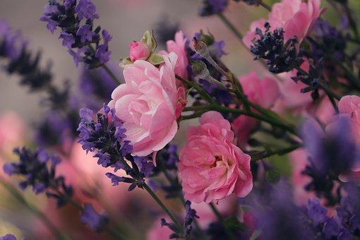 Lavender, Roses, Violet, Pink, Flowers, Nature, Garden