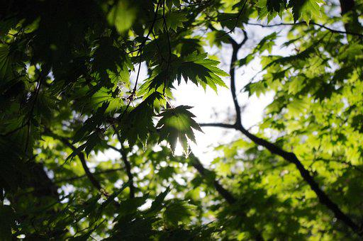 Maple, Green, Leaves, Japanese, Spring, Plant, Tree