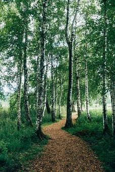 Forest Path, Birch, Hiking, Forest, Away, Nature, Trail