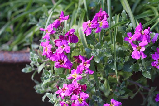 Aubretia, Spring, Flowers, Mauve, Purple
