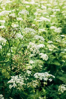 Yarrow, Plant, Nature, Flora, Wild Flower, Herbs, Bloom