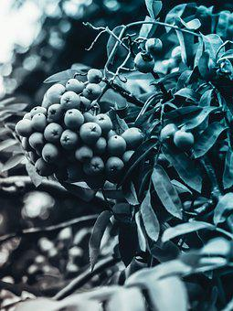 Fruit, Blue, Berries, Power, Vine, Food, Delicious