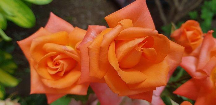 Roses, Orange, Rosebush, Flowers, Plants, Garden