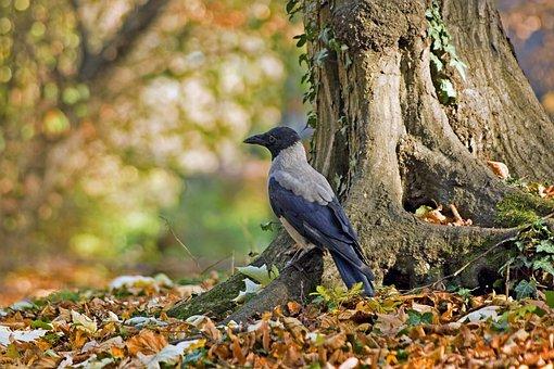 Grey Crow, Corvix, Bird, Crow, Animal, Plumage
