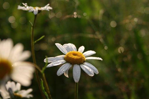 Flower, White, Summer, Meadow, Light, Evening, Sun