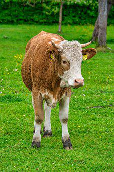 Beef, Young, Animal, Livestock, Pasture, Pet, Spring