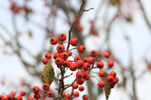 Berries, Fall, Autumn, Nature, Red