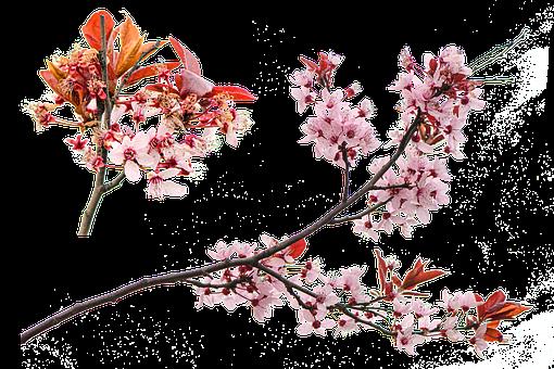 Blossoms, Bloom, Flower, Blossom, Spring