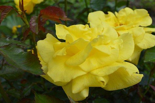 Rose, Flower, Bouquet, Nature, Garden, Fragrance