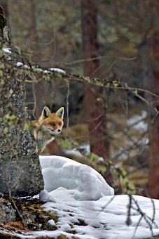 Fox, Red Fox, Animal, Nature, Wild, Attention, Cunning