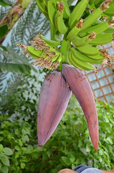 Banana Flower, Fruit, Nature, Food